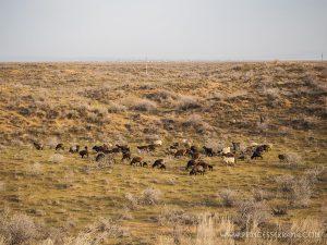 En route vers le désert du KyzylKoum en Ouzbékistan
