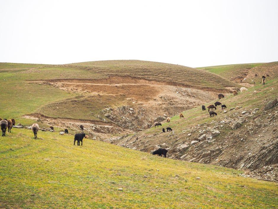 Chèvres à Pangate