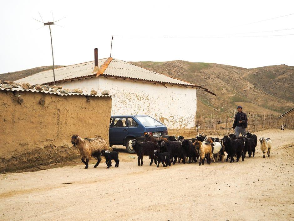 Troupeau de chèvres ouzbék