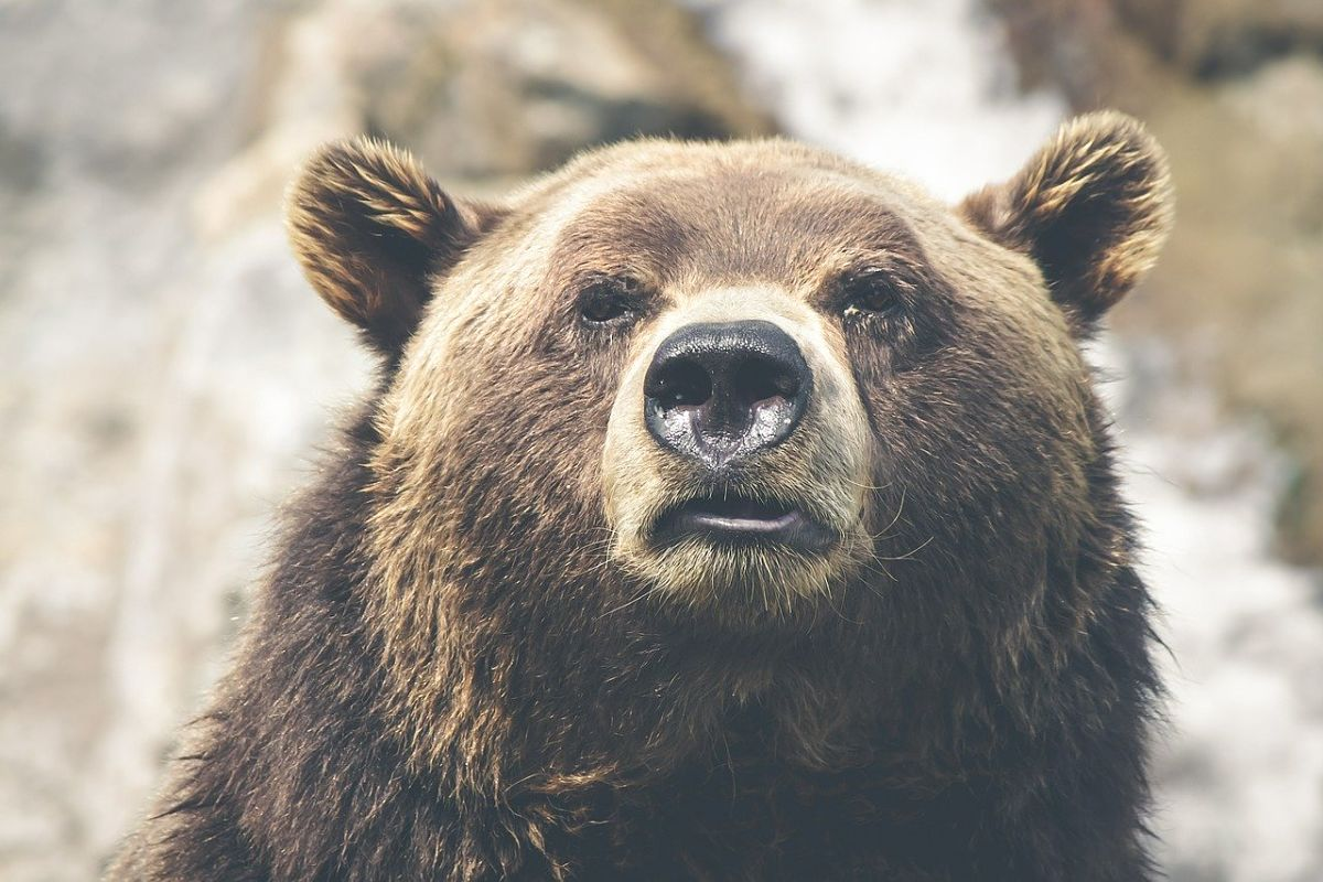 Visiter le Canada - Grizzly